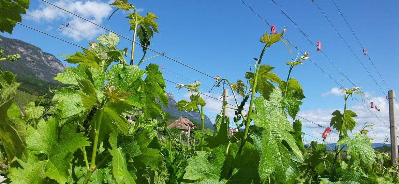 Laubschnitt im Weinbau