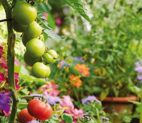 Come coltivare i pomodori