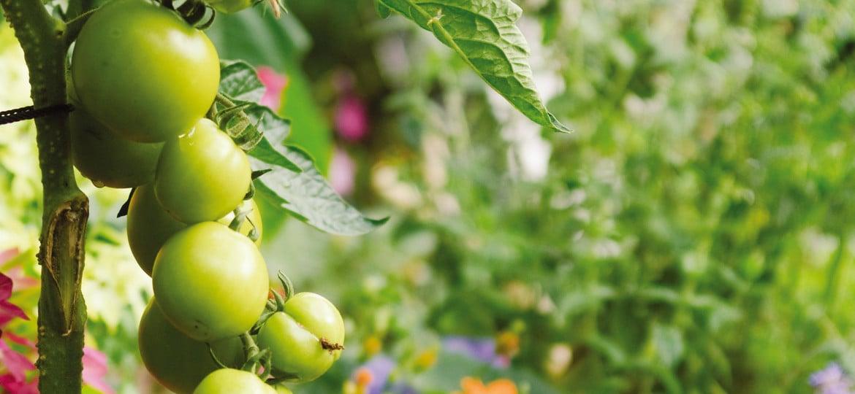 Tomaten im Herbst