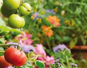 Anzucht von Tomaten