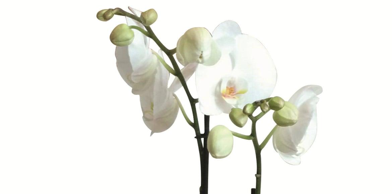So bringen Sie Ihre Orchidee zum Blühen
