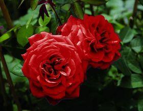 Der Frühjahrschnitt macht die Rosen fit