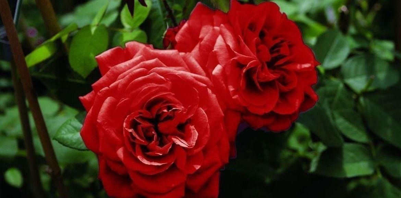 La potatura primaverile delle rose
