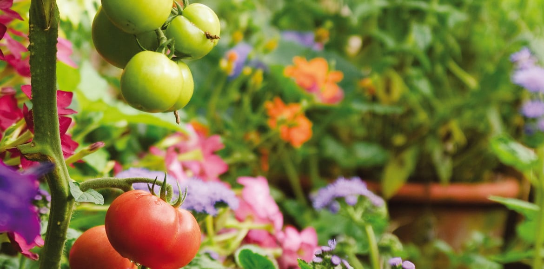 Tomaten richtig pflanzen