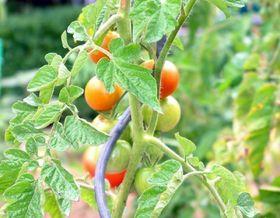 Ricetta: pomodori disseccati