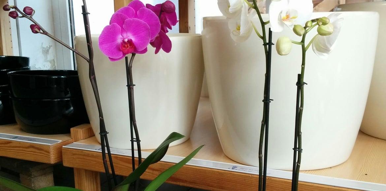 Die Pflege von Orchideen