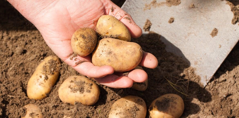 Kartoffel auf dem Balkon