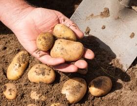 Coltivare le patate sul balcone