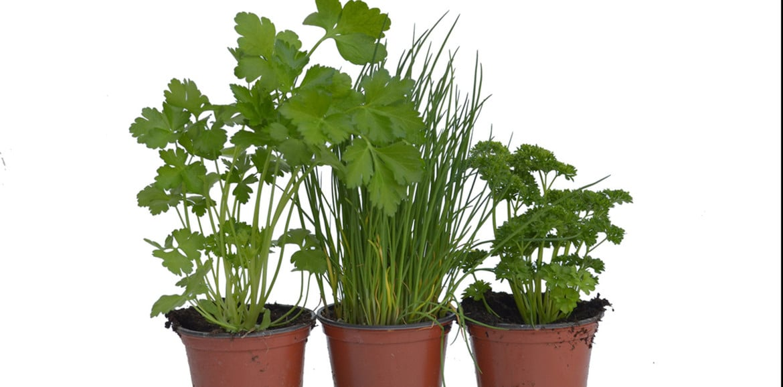 Conoscere le erbe aromatiche