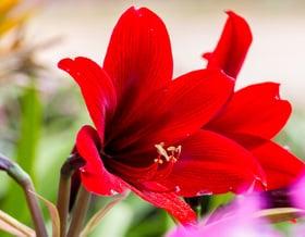 Un fiore di amaryllis ed è primavera anche in inverno