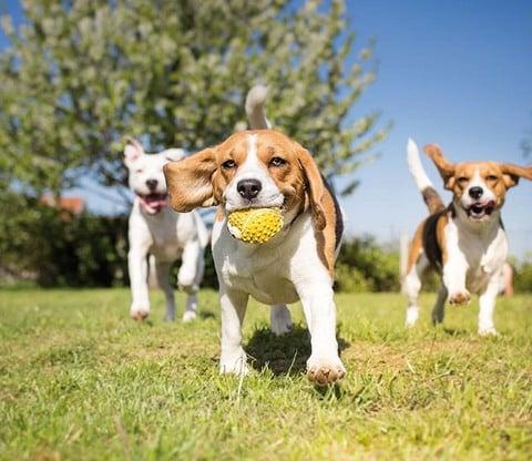 Hunde erziehen (auf italienisch)