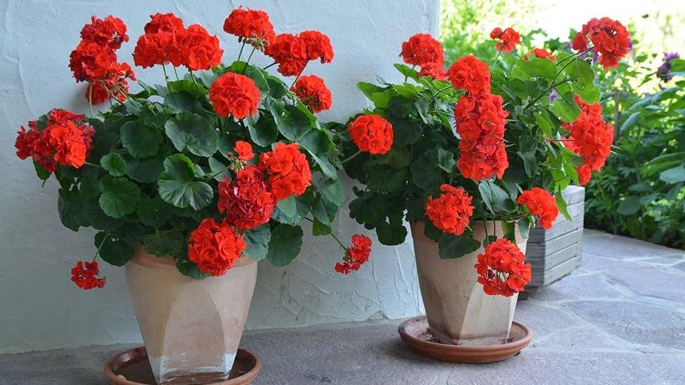 Spezifische Dünger für Geranien und andere Pflanzen