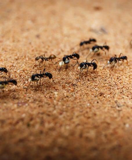 Schutz vor Ameisen