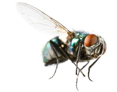 Fliegenbekämpfung