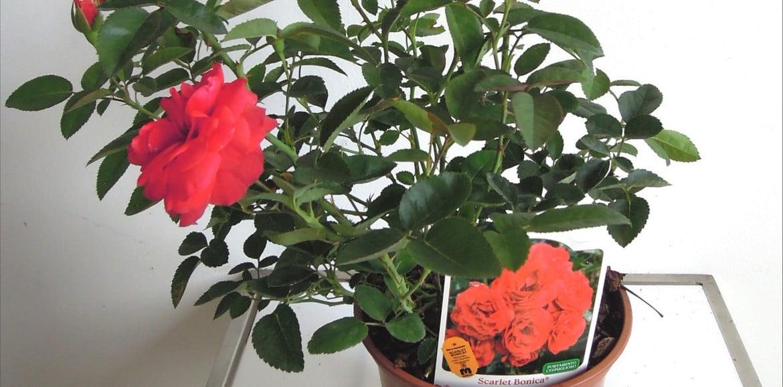 Il significato delle piante: le rose tappezzanti