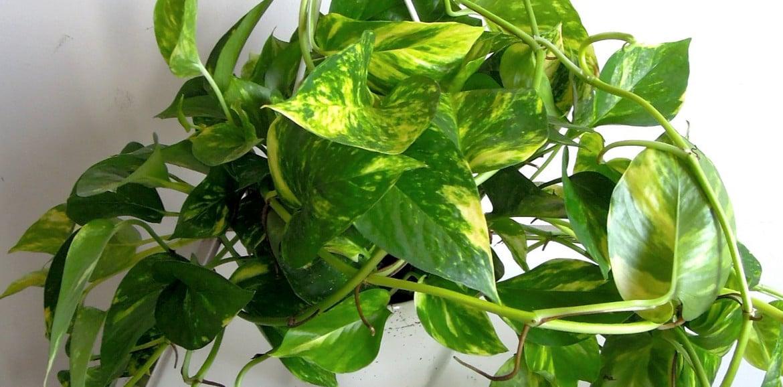 Il significato delle piante: Potus Scindapsus