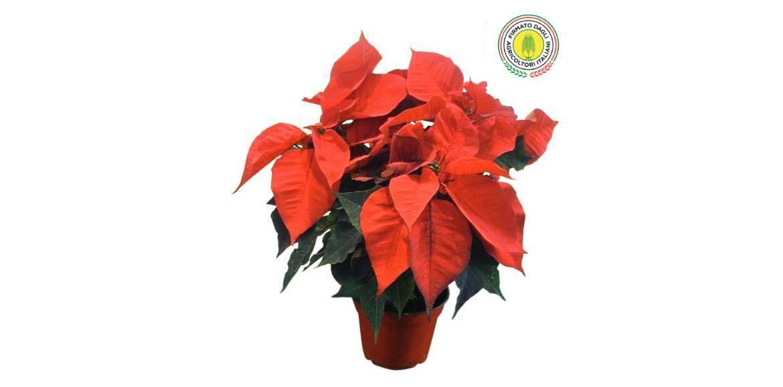 Il significato delle piante: stella di Natale