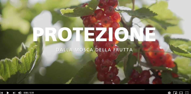 Video: proteggersi dalla mosca della frutta