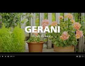 Video: la cura dei gerani