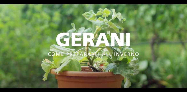 Video: preparare i gerani all'inverno