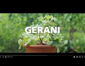Video: preparare i gerani all'inverno