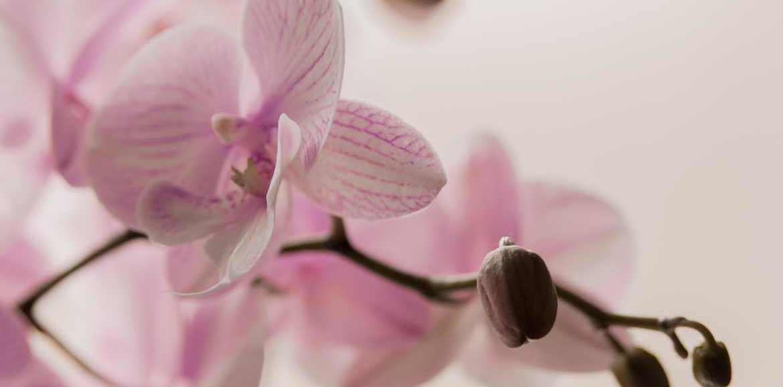 Orchideen zum Valentinstag